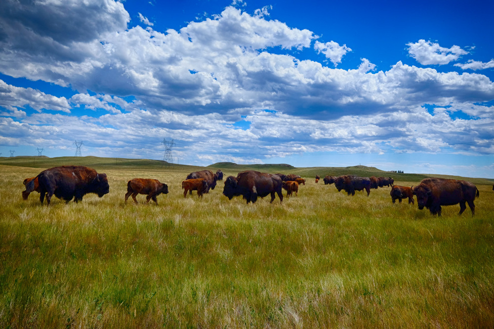 photoblog image Buffalo in Wyoming